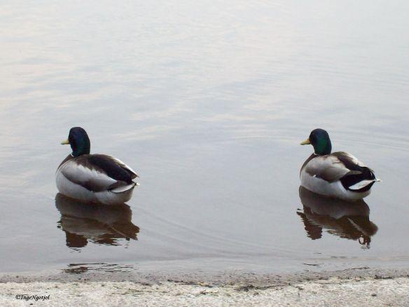 My mallar ducks